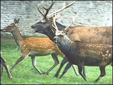 A  hybrid female, red stag, and sika stag (L-R) (Pic: Josephine Pemberton)