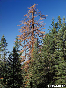 A dead sugar pine (Image: Jerry Franklin)