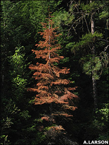 A dead grand fir (Image: Andrew Larson)