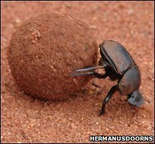 Dung beetle rolling ball of faeces