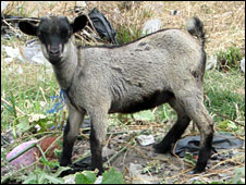 Goat (File photo)