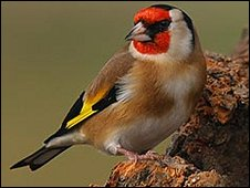 A goldfinch perching on a tree