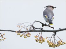 Bohemian Waxwing (Picture by Anthony McGeehan)