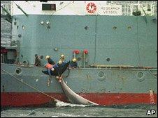 Japanese ship harpoons a minke whale, Southern Oceans, 2000