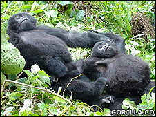 Gorillas playing (Gorilla.CD)