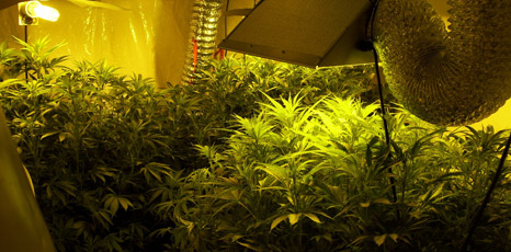 Marijuana plants at a house in Lincolnshire