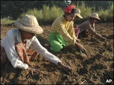 Burmese plant peas in a field near Mandalay, Burma