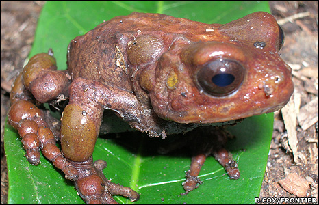 Species of toad from the Nectophrynoides genus (Image: Penelope Whitehorn/Frontier)