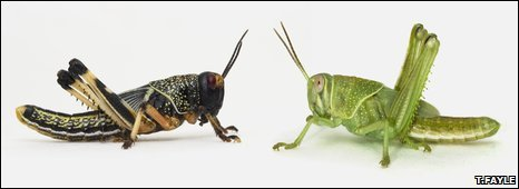 Gregarious locust (left) and solitary (right)