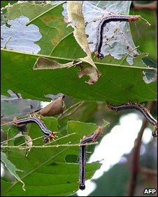 Caterpillars consuming leaves in Liberia