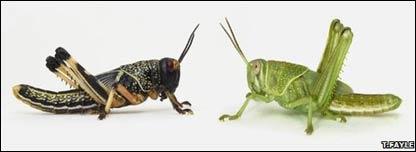 La langosta en su fase gregaria (izquierda) y su fase solitaria (derecha)