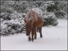 Pony in the snow in Bramshaw, New Forest. Pic by: Suzanne Bond
