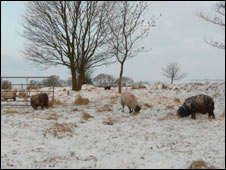 Sheep at Stanhill, Oswaldtwistle