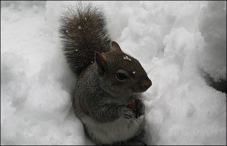 Squirrel in the snow - from Paul Smith