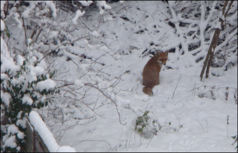 Fox in the snow- North London