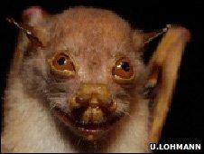One of the bat species found around the base camp (Image: Ulla Lohmann)