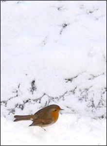 Robin Goch yn chwilio am fwyd yn yr eira yng ngardd