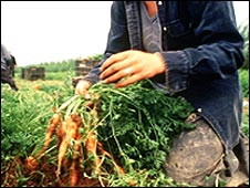 Migrant workers pick carrots