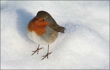 A robin in the snow: Photo: Joana Cox