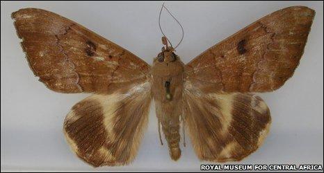 Achaea catocaloides rena