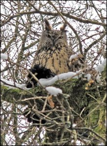 Long eared owl - photo by Bob Jones
