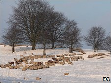 sheep in snowy field
