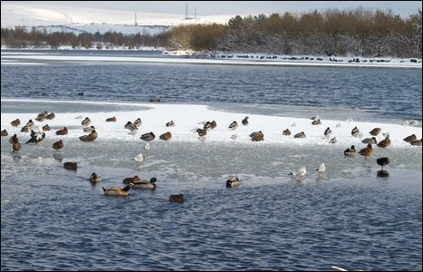 Ducks on a partially frozen lake at Bryn Bach Park near Tredegar.  Photo by Pennie Winkler.