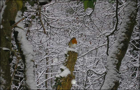 A robin on a post in snow woods at Llantwit Fardre. Picture by Rhys Roberts