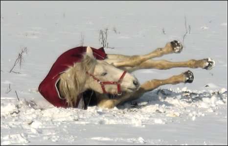 Muffin enjoys a roll in the snow at Glascoed.  Photo by Alice Truszkowski.