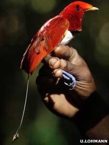 King bird of paradise (Image: Ulla Lohmann)