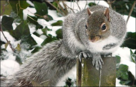 Squirrel in snow covered garden