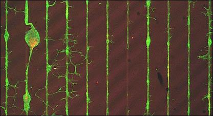 Neuronas que crecen sobre chip de silicio