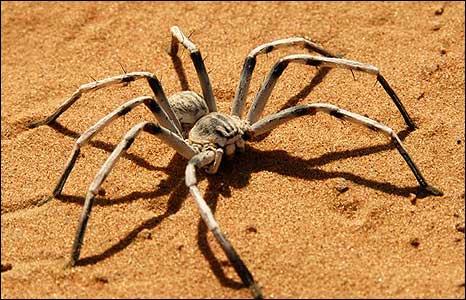 A desert spider