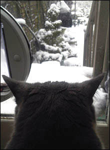 Thomas the cat stares at a snowy backgarden. Photo: Sarah Travers-Clarke