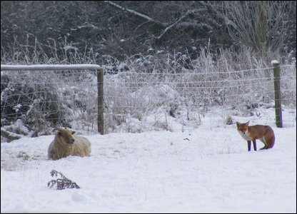 Sheep and snow in bucks
