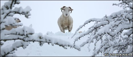 Stephen Foster sent in this shot of a ram near Carncastle in County Antrim