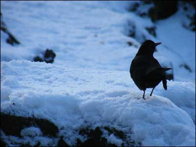 A blackbird in the snow, taken at Aden Country Park, Mintlaw, Aberdeenshire by Kevin Fleurs.