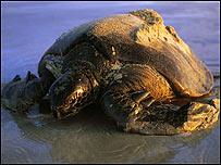 Tortuga de las islas Gal�pagos