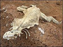 Esqueleto de iguana en las islas Gal�pagos