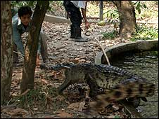 Conservationists try to snare a crocodile at the wildlife sanctuary