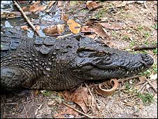 A Siamese crocodile at the Phnom Tamao wildlife sanctuary