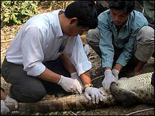 A tracking chip is injected into the crocodile's tail