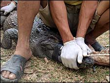 Conservationists secure the snout of one of the crocodiles