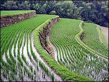 Rice field (Image: PA)
