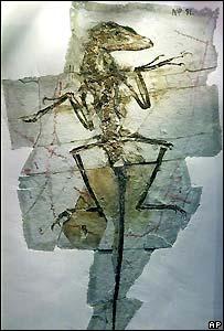 Fósil de dromaeosaur