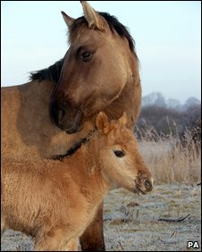 Konik horse and foal at Stodmarsh