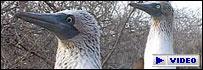Pájaros en las islas Galápagos