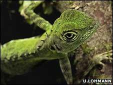 Forest dragon (Image: Ulla Lohmann)