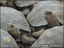 Tortoises (BBC)