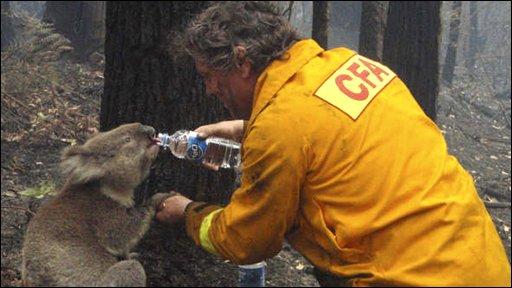 Koala drinking water